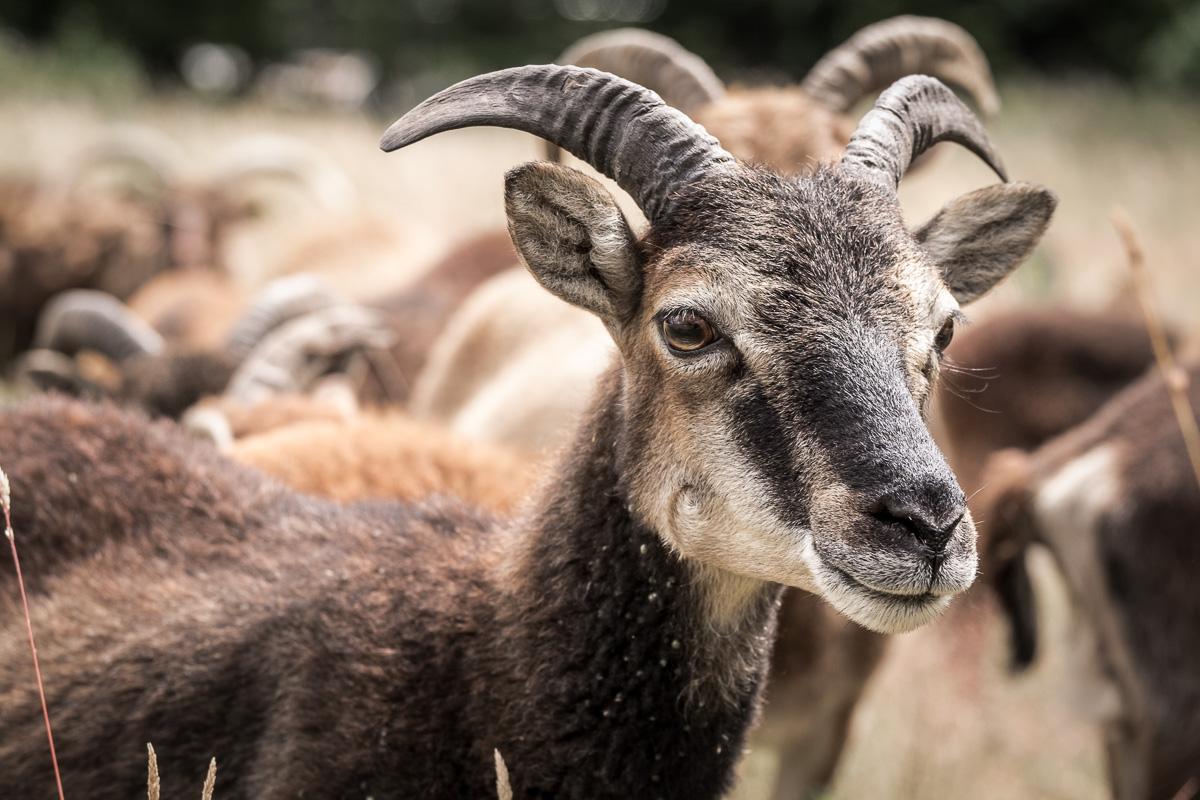 Sheep-08-07-2015-87
