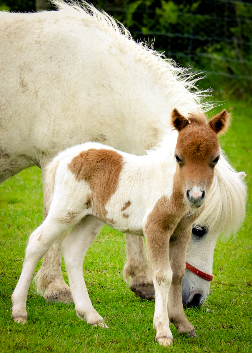 Shetland-foal-37-Edit