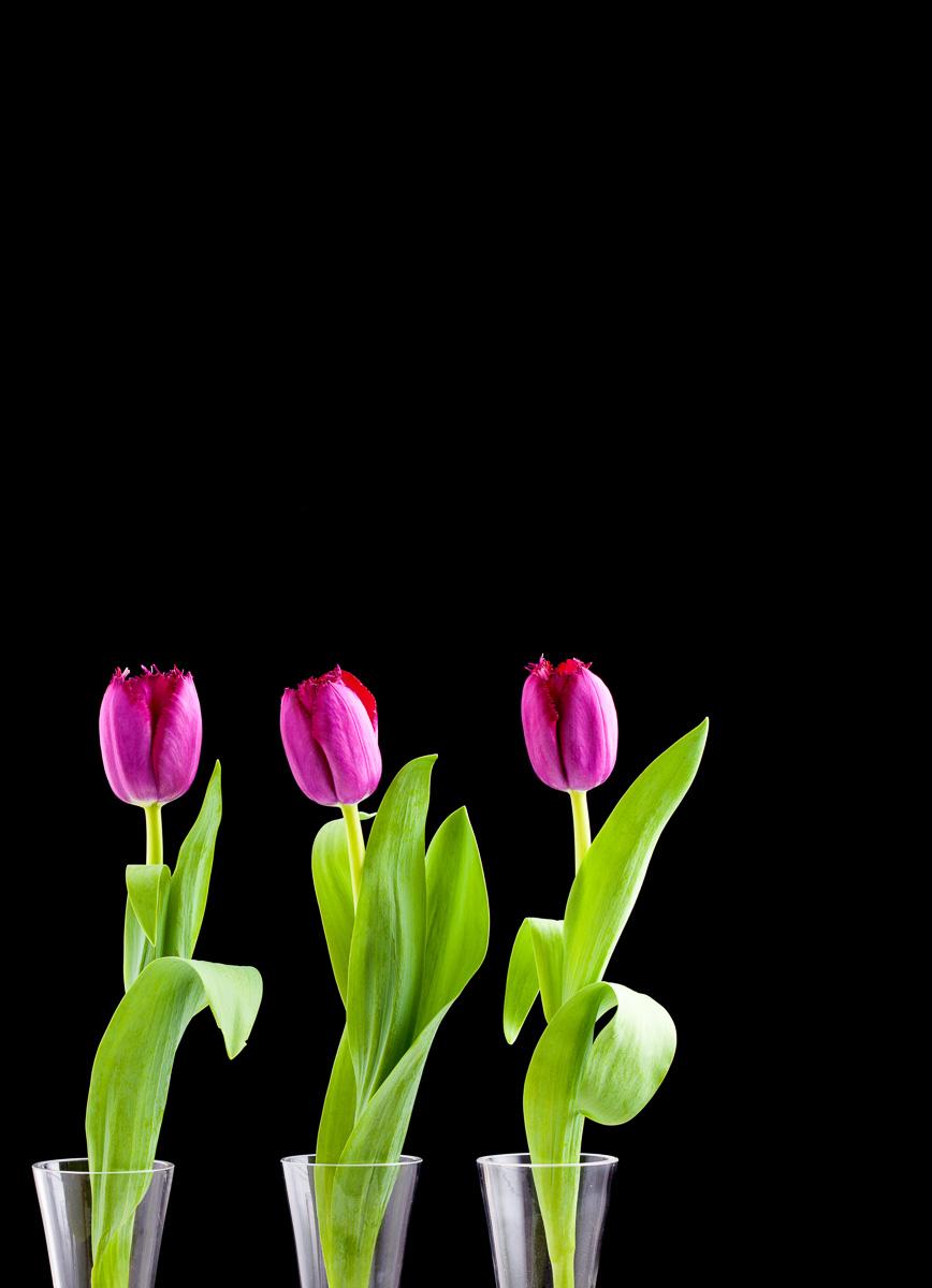 Tulips-3-Edit-Edit