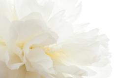 PlumsPixelLove-White-Peony-1-Full-size