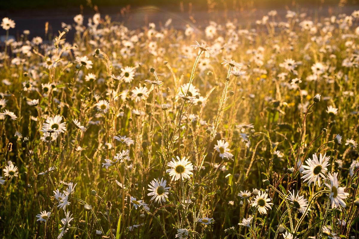 Daisies-03-06-2015-84