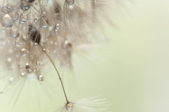 Dandelion_head-30-04-2015-28-Edit