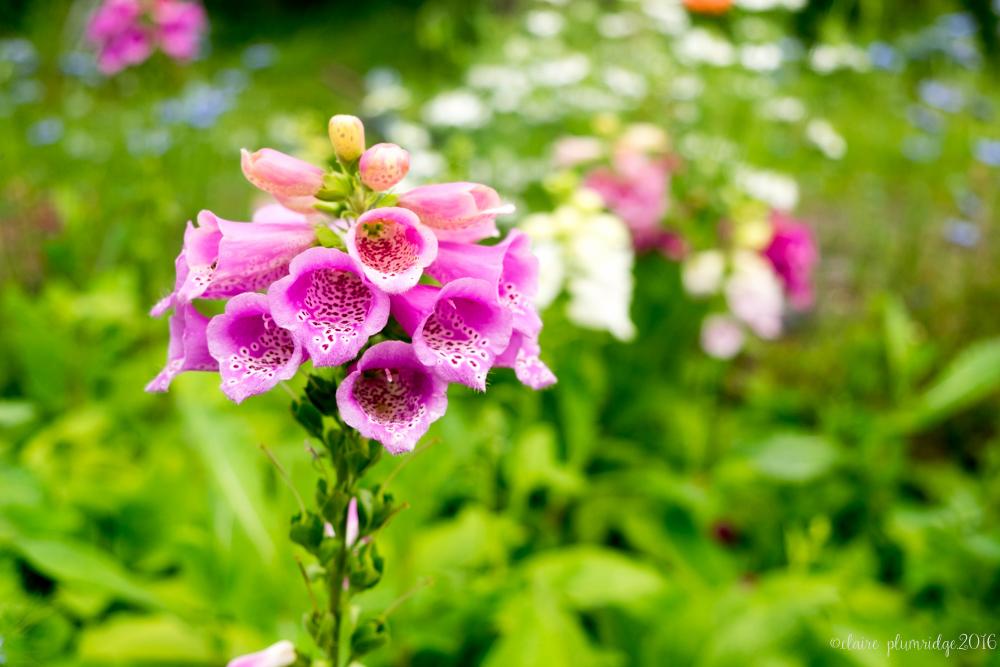 Flower farm foxglove
