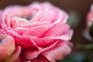 Ranunculus-25-03-2015-18